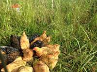 Chicken_flock_pic
