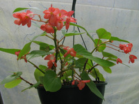 Aug11_2011_red_angelwing_begonia
