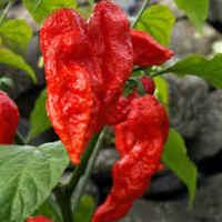Ghost_pepper_2