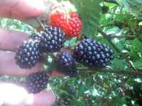 Cindys_blackberries_063009
