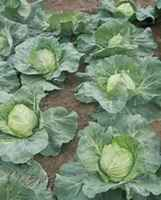Cabbage_fast_advantage