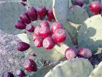 Prickly_pear_catus