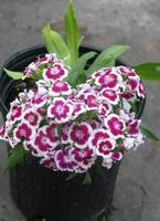 Dianthus_red_white_036