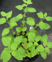 June21_2011_lemon_balm