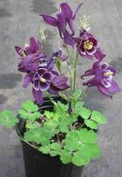 Purple_columbine_051