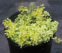 Creepingyellowsedumwflowers_060