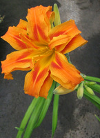June21_2011_double_orange_daylily
